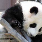 パンダも都会のストレスの被害者か?